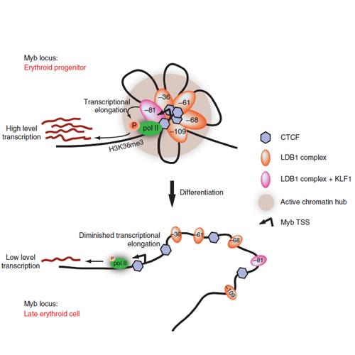 Cipsm Dynamic Long Range Chromatin Interactions Control