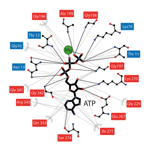 Cipsm nucleotides regulate the mechanical hierarchy between our results offer general insights into the nucleotide induced signal transduction within members of the actinsugar kinase superfamily ccuart Gallery