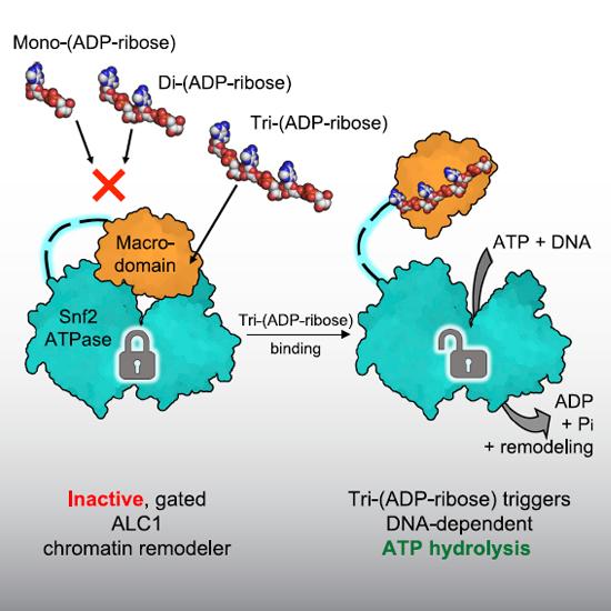 cellular response to ionizing radiation | Semantic Scholar